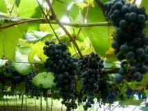 檜山酒造(株)/常陸ワイン